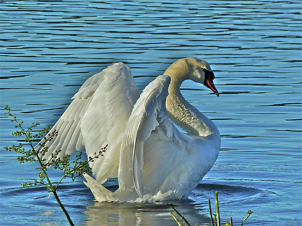 Swan Photograph - Angel Wings by Diana Hatcher