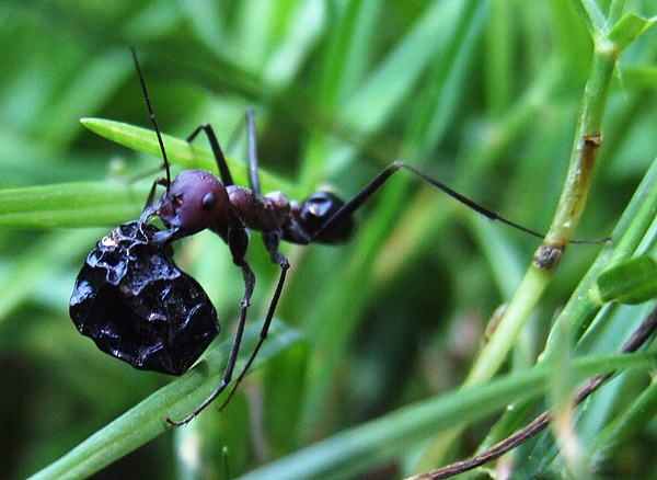Ant And Berry Photograph by Bill Vernon