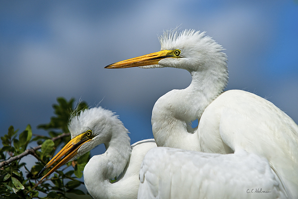 Egret Photograph - Anxiously Waiting by Christopher Holmes