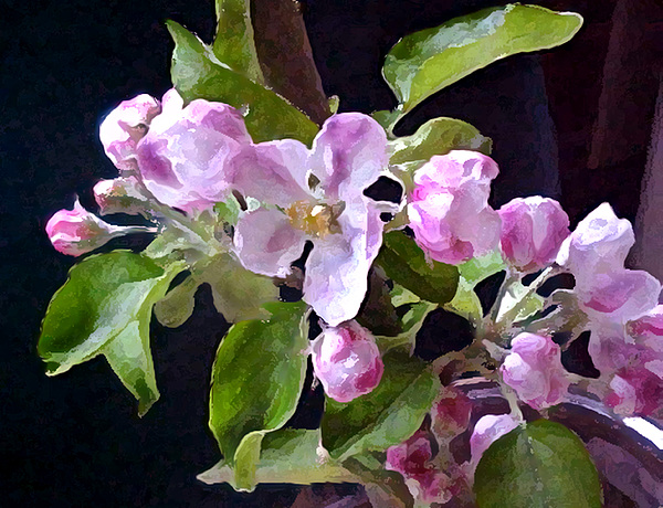 Flowers Photograph - Apple Blossoms  by Valerie  Moore