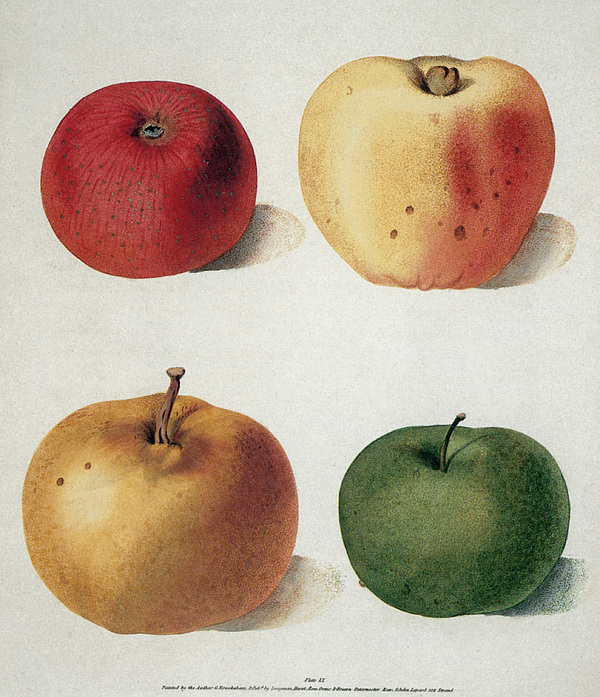 19th Century Photograph - Apples by Granger