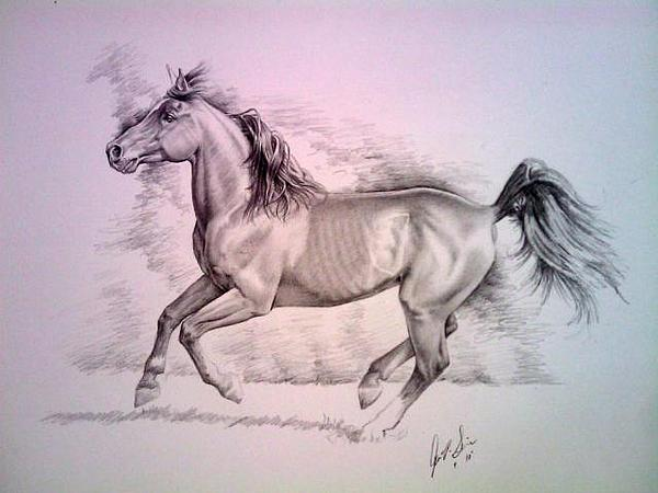 Horse Drawing - Arabian by John Senior