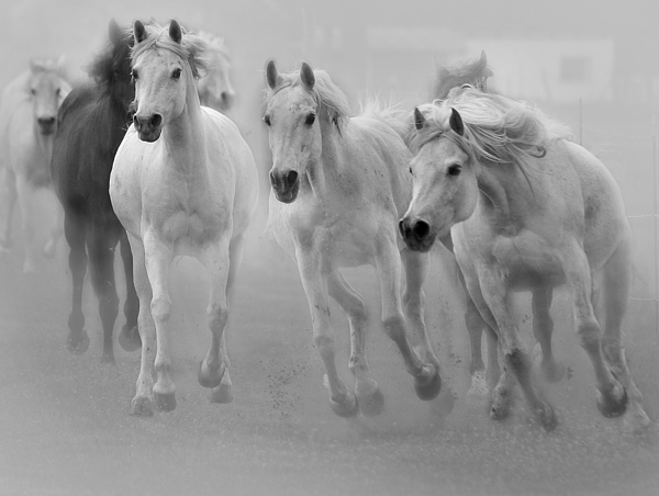 Horse Photograph - Arabian Mares by ELA-EquusArt
