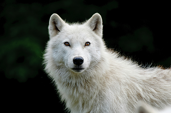 Wildlife Photography Photograph - Arctic Wolf by Michael Cummings