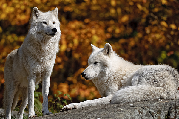 Wildlife Photographer Photograph - Arctic Wolves On Rocks by Michael Cummings