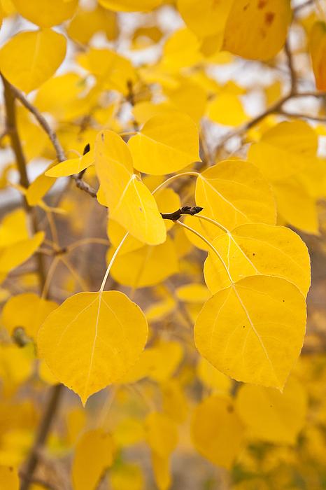California Photograph - Aspen Yellow by Greg Clure