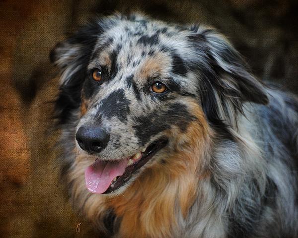 Australian Photograph - Australian Shepherd Portrait by Jai Johnson