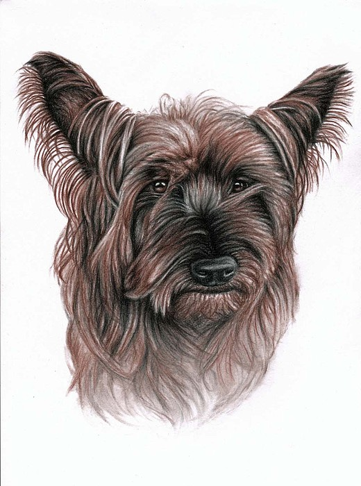 Dog Drawing - Australian Terrier by Nicole Zeug