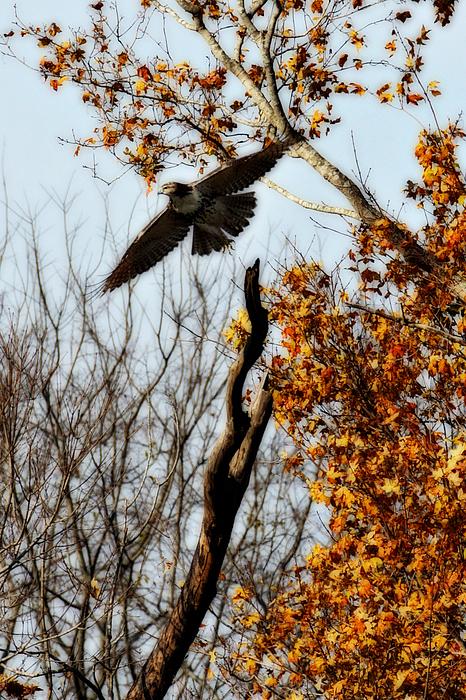 Flight Photograph - Autumn Flight by Alan Skonieczny