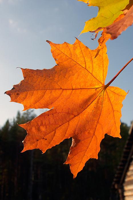 October Photograph - Autumn Leaf by Stanislovas Kairys