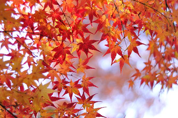Horizontal Photograph - Autumn Leaves by Myu-myu