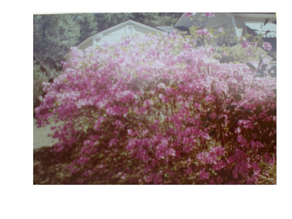 Azalea Framed By Roof Photograph by Hal Newhouser