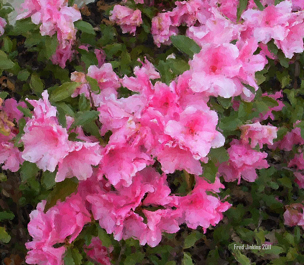 Althea Photograph - Azalea Watercolor  by Fred Jinkins