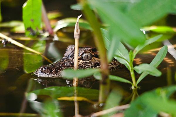 Wildlife Photograph - Baby Alligator by Bill Metek
