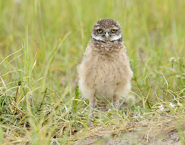 Owl Photograph - Baby Burrowing Owl by Keith Lovejoy