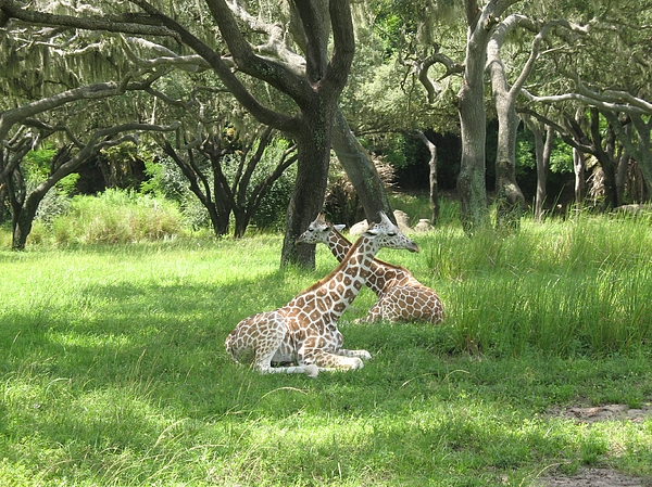 Baby Photograph - Baby Giraffes  2  Natural by Sharon Wright Duncan