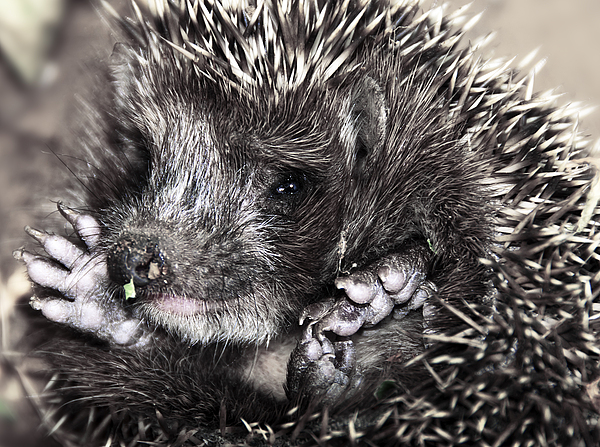 Animal Photograph - Baby Hedgehog by Svetlana Sewell