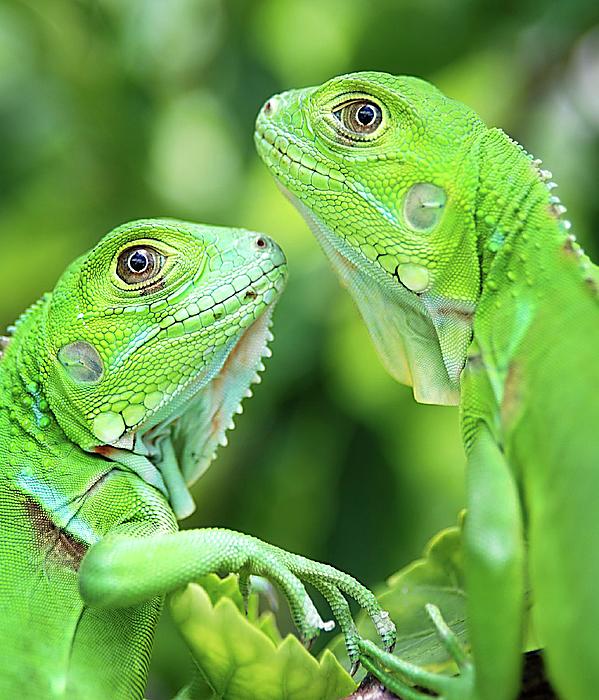Vertical Photograph - Baby Iguanas by Patti Sullivan Schmidt
