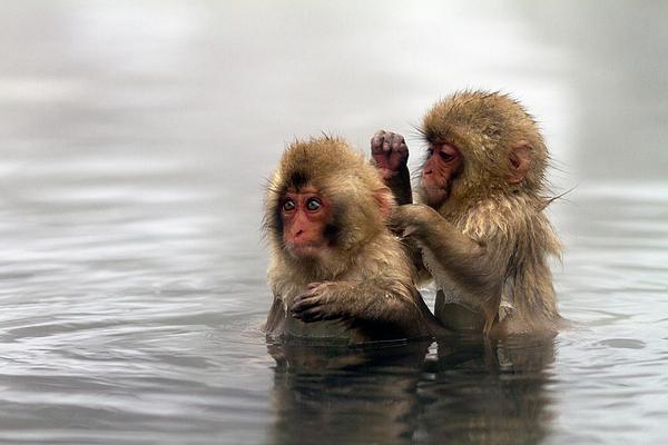 Horizontal Photograph - Baby Japanese Macaques snow Monkeys by Oscar Tarneberg