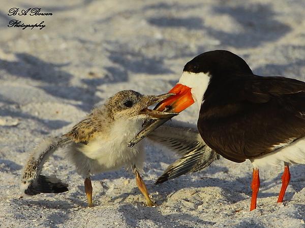 Black Skimmer Photograph - Baby Skimmer Feeding by Barbara Bowen