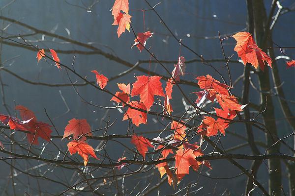 Trees Photograph - Back Light Mapel by Itai Minovitz