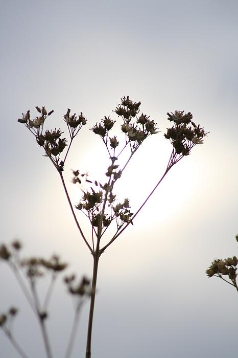 Plant Photograph - Backlit by Natasha Stinson
