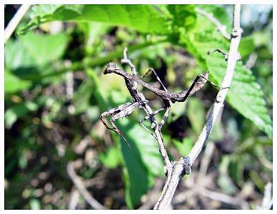Praying Mantis Photograph - Backyard Predator by Angel Claudio