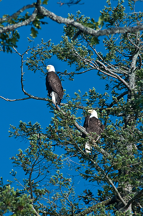 Accipitriformes Photograph - Bald Eagles by R J Ruppenthal