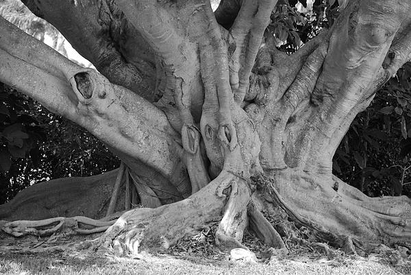 Tree Photograph - Banyan Tree by Rob Hans