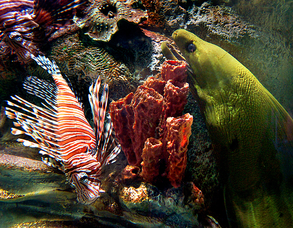 Eel Photograph - Barnacle Buddies by Bill Pevlor