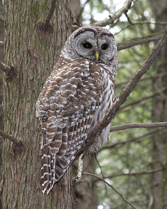 Barred Owl Photograph - Barred Owl by Doris Potter