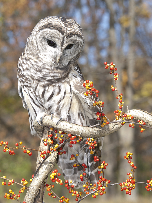 Barred Owl Photograph - Barred Owl Portrait by Cindy Lindow