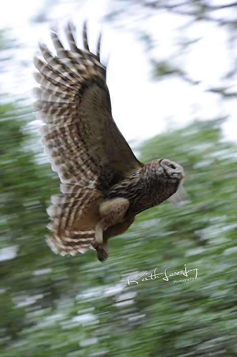 Owl Photograph - Barred Owl Taking Flight by Keith Lovejoy