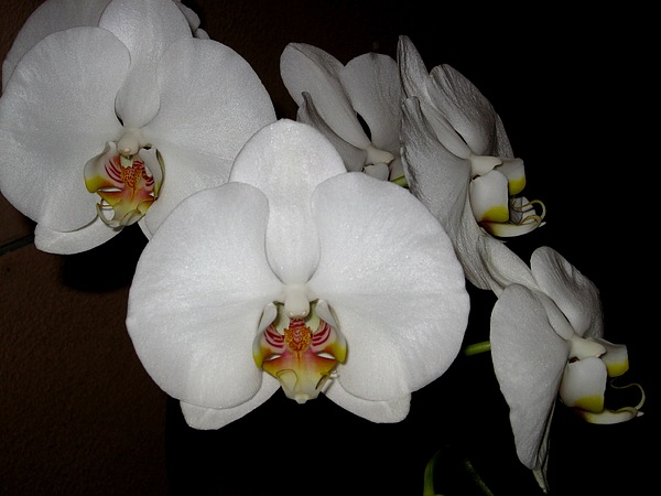 Orchid Photograph - Beacon by Betnoy Smith