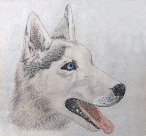 Siberian Husky Drawing - Beare by Jennie  Richards