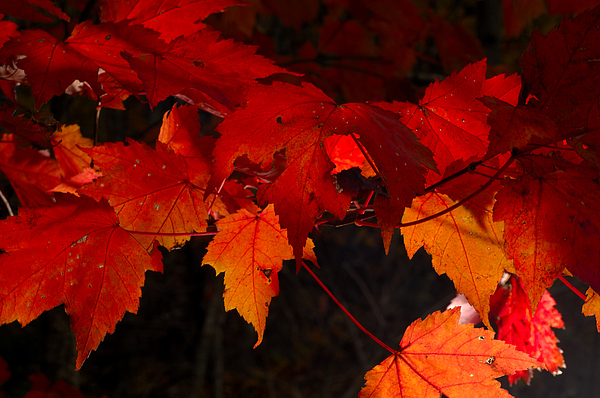 Red Photograph - Beautiful Backlit Autumn Maple Leaves by Darrell Young