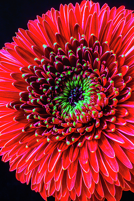 Mood Photograph - Beautiful Details Of Gerbera Daisy by Garry Gay
