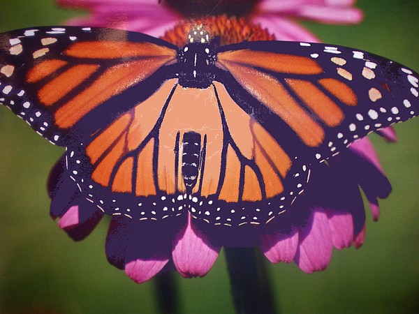 Monarch Butterfly Photograph - Beautiful In Orange by Patricia Fragola
