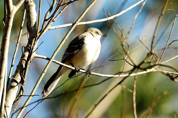 Bird Photograph - Beautiful Mockingbird by Teresa Blanton