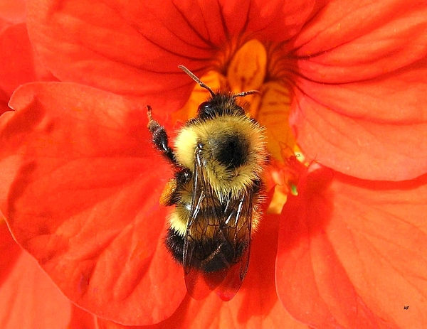 Bee Photograph - Bee And Nasturtium by Will Borden