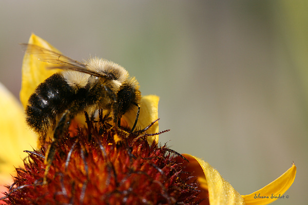 Bee Photograph - Bee Four by Silvana Siudut
