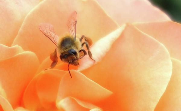 Bee Photograph - Bee On Flower by Matthew Bamberg