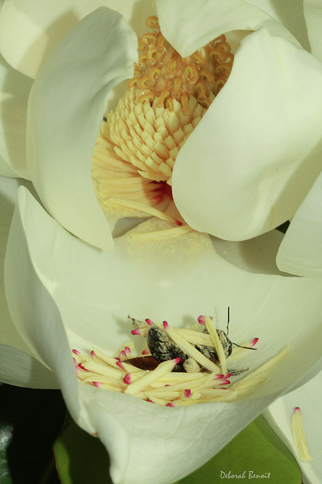Magnolia Photograph - Bee Pollen Overdose by Deborah Benoit
