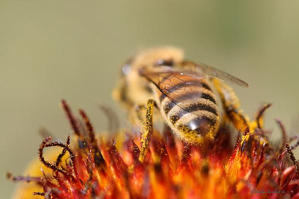 Bee Photograph - Bee Three by Silvana Siudut