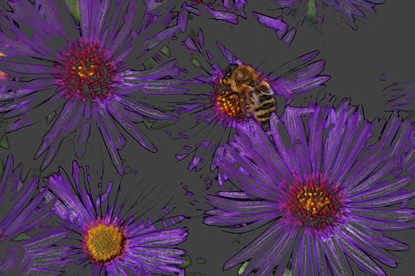 Asters Photograph - Bee With Asters On Gray by ShaddowCat Arts - Sherry