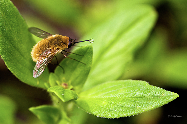 Beefly Photograph - Beefly by Christopher Holmes