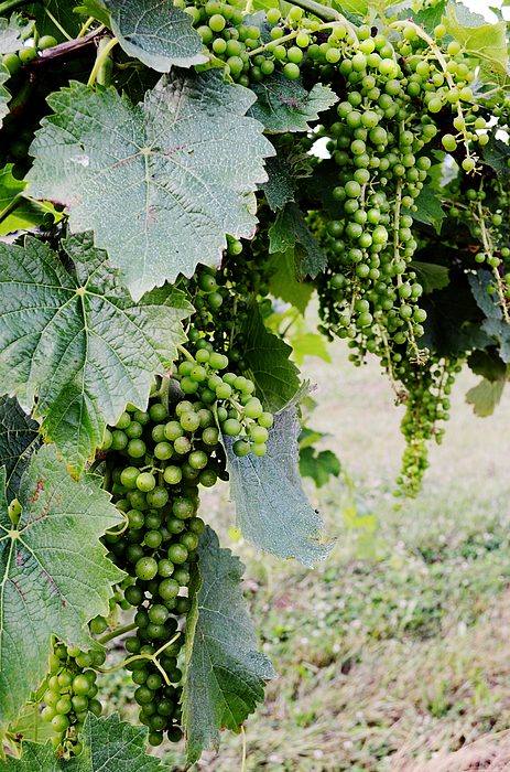 Grapes Photograph - Before The Harvest by La Dolce Vita