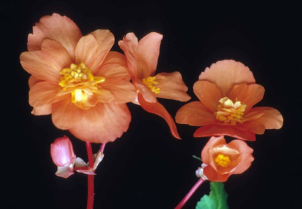 Begonia Photograph - Begonia Buddies by Laurie Paci