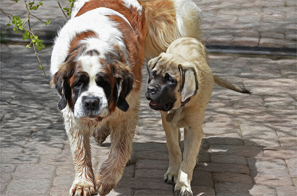 St. Bernard Photograph - Bell And Maya by Susie Fisher