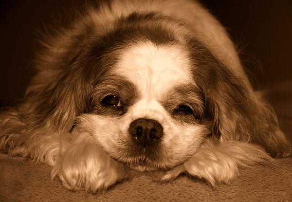 Dog Photograph - Belle Awake by Kathi Shotwell